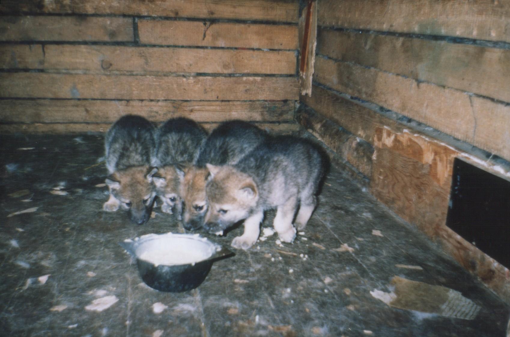 Щенки волкособа